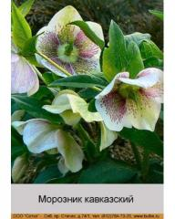 The hellebore is Caucasian