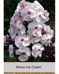 Ice Cream phlox