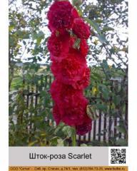 Scarlet rod rose