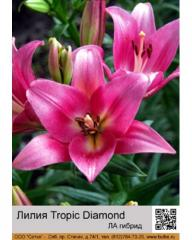 Lilies LA Tropic Diamond hybrid
