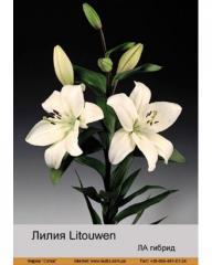 Lilies LA Litouwen hybrid
