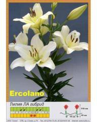 Lilies LA Ercolano hybrid