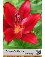 Lilies LA California hybrid