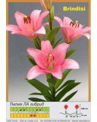 Lilies LA Brindisi hybrid