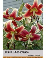 Lilia OT Sheherazade hybrid