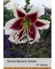 Lilia OT Beverly Dream hybrid