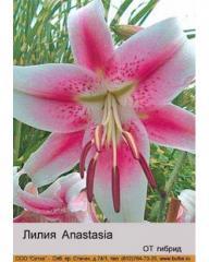 Lilia OT Anastasia hybrid