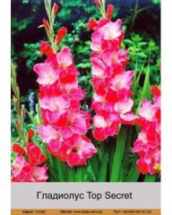 Top Secret gladiolus