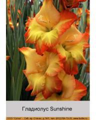 Sunshine gladiolus