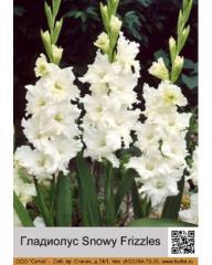 Snowy Frizzles gladiolus