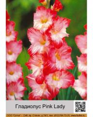 Pink Lady gladiolus