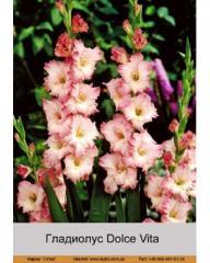 Dolce Vita gladiolus