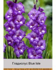 Blue Isle gladiolus
