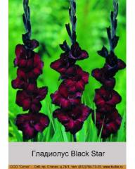 Black Star gladiolus
