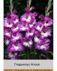 Anouk gladiolus
