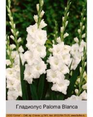 Paloma Blanca gladiolus