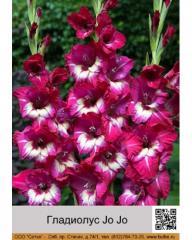 Jo Jo gladiolus