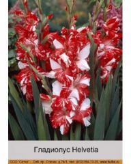 Helvetia gladiolus