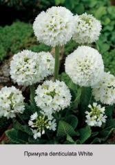 Denticulata White primrose
