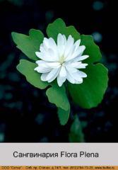 Sangvinariya canadensis Flora Plena