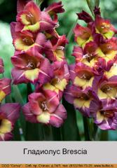 Brescia gladiolus