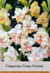 Crispy Frizzles gladiolus