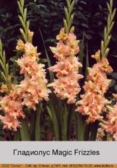 Magic Frizzles gladiolus