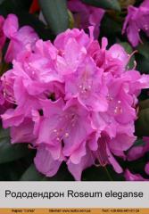 Roseum eleganse rhododendron