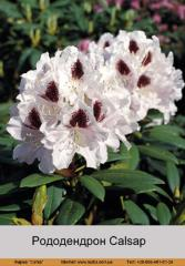 Calsap rhododendron