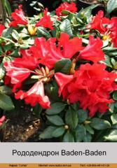 Baden-Baden rhododendron