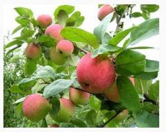Саженцы яблони, груши и других фруктовых деревьев