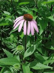 Эхинацея пурпурная, трава