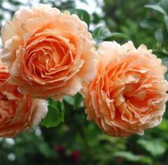 Роза плетистая  Полька 91