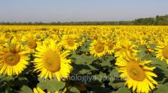 Hybrid of sunflower of LOGOS
