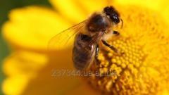 Продам 40 пакетов пчел, украинской степной породы,