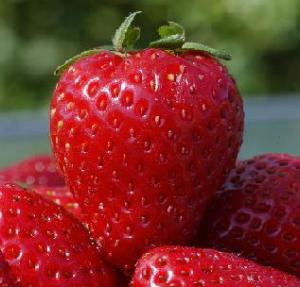 Strawberry, Saplings of remontantny strawberry