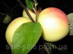 Cаженцы яблони Кальвиль Снежный