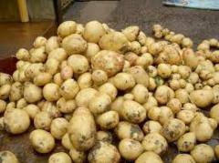 Продаеться картофель (Рокко, Виннета, Агава,
