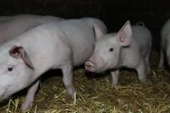 Частная свиноферма реализует свежее мясо 45 грн/кг