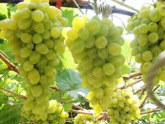 Аркадия саженцы винограда