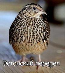 Инкубационные яйца  порода - Эстонский перепел