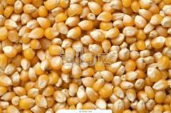 Corn seeds shot, lyubav