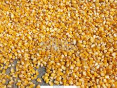 Corn seeds belozersky, solonyanskiya
