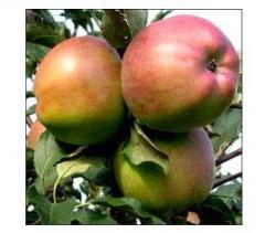Яблоня сорт Росавка.