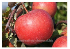 Apple-tree grade Ligol.