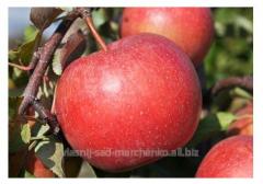 Яблоня сорт Лигол.