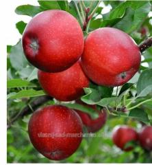 Яблоня сорт Гала.