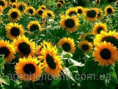 Семена подсолнечника  NK_FORTIMI_CRU / НК_ФОРТИМИ