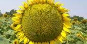 Семена подсолнечника Тиса