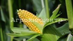 Crop corn